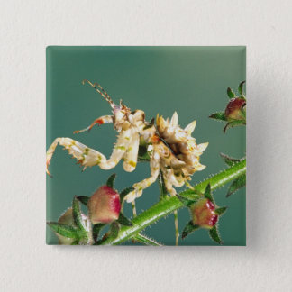Tanzanian Flower Mantis, Pseudocreboter 15 Cm Square Badge