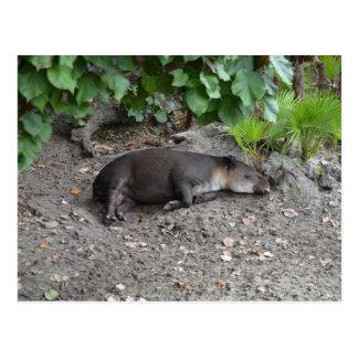 tapir sleeping on sand postcard