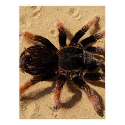 Tarantula Photo Postcards