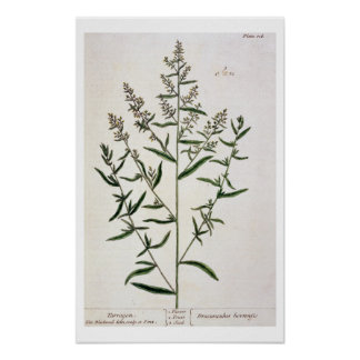 Tarragon, plate 116 from 'A Curious Herbal', publi Poster