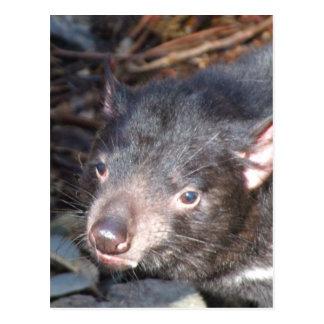 Tasmanian Devil Postcard