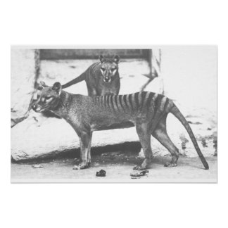 Tasmanian Tiger Poster ,Canvas