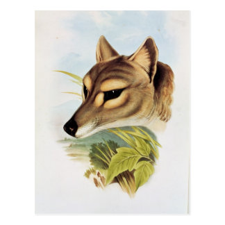 Tasmanian Wolf or Tiger Postcard