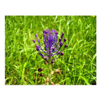 Tassel-Hyacinth Postcard