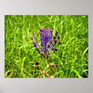 Tassel-Hyacinth Poster