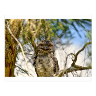 TAWNY FROGMOUTH RURAL QUEENSLAND AUSTRALIA POSTCARD
