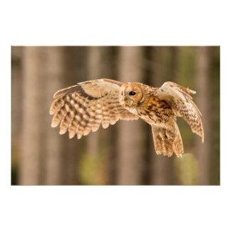 Tawny Owl in flight. Photo Print