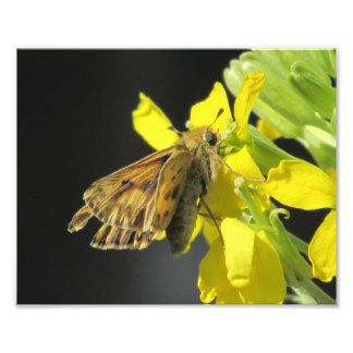 Taxiles Skipper Butterfly Photographic Print