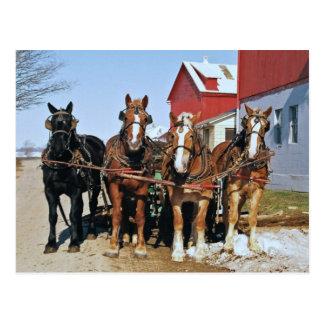 Team Of Amish Horses Postcard