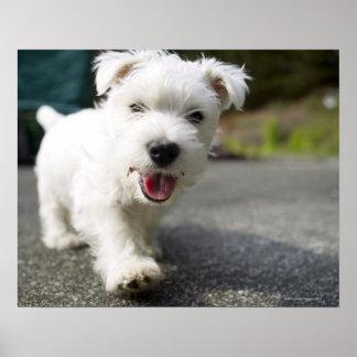 Ten week old female west highland terrier print