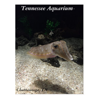 Tennessee Aquarium Cuttlefish Postcard