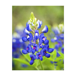 Texas Bluebonnet - State Flower Gallery Wrapped Canvas