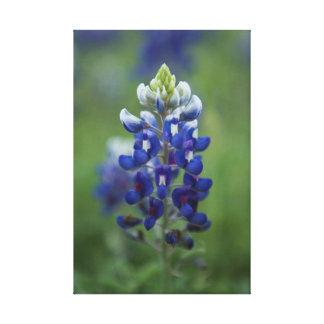 Texas Bluebonnet Stretched Canvas Print