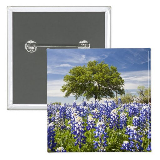Texas bluebonnets(lupinus texensis) and oak pins