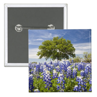 Texas bluebonnets lupinus texensis and oak pins