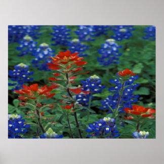 Texas Bluebonnets & Paintbrush Flowers Art Print