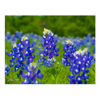 Texas bluebonnets post card