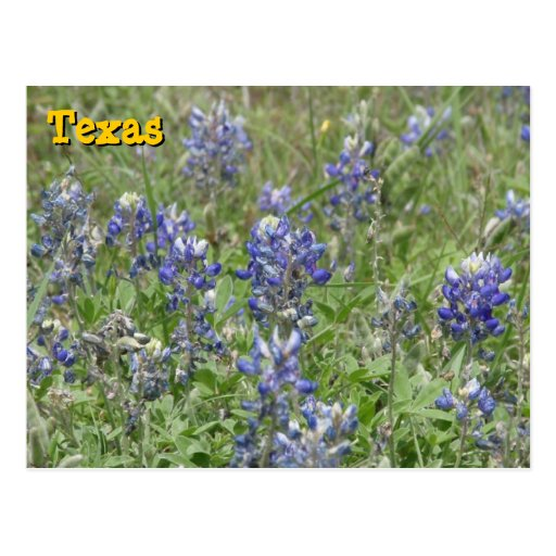 Texas Bluebonnets Postcards