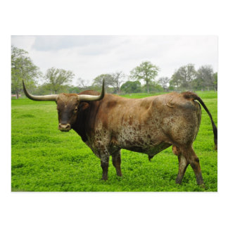 Texas Burnt Orange Longhorn Steer Postcard