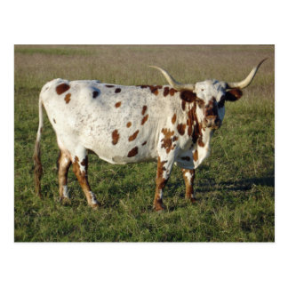 Texas Longhorn Cow Postcard