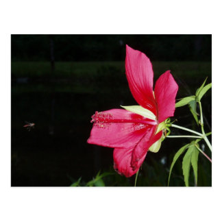 Texas Star Hibiscus Postcard