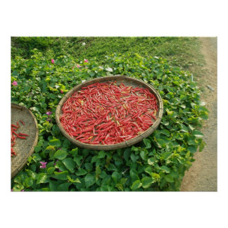 Thai Chili Peppers Drying Poster