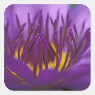 Thailand, Bangkok, Purple and yellow lotus 2 Square Sticker