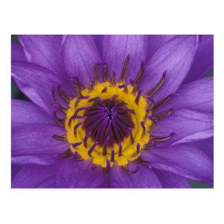 Thailand, Bangkok, Purple and yellow lotus Postcard