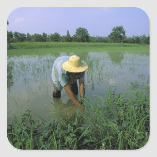 Thailand, Sukhothai. Rice farmer. MR. Square Sticker