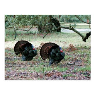 Thanksgiving Day Wild Turkeys in an Open Field Postcard