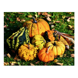 Thanksgiving Scene with Pumpkins-Corn-Gourds Postcard