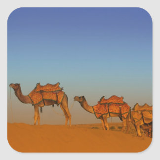 Thar desert, Rajasthan India. Camels along the Square Sticker