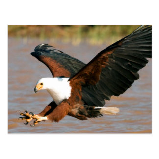 The African Fish Eagle (Haliaeetus Vocifer) Postcard