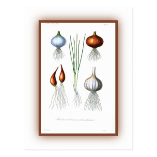 The Allium Family Postcard
