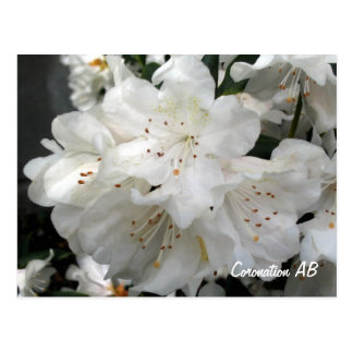The Apple blossoms Are In Bloom Postcard