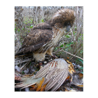 The Art of Falconry: Red Tailed Hawk on Pheasant