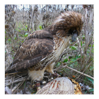 The Art of Falconry: Red Tailed Hawk on Pheasant 2