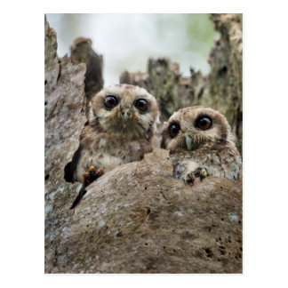 The Bare-legged Owl Or Cuban Screech Owl Postcard