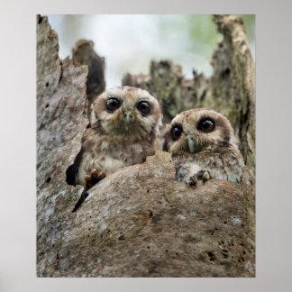 The Bare-legged Owl Or Cuban Screech Owl Poster