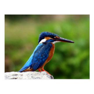 The Blue-Eared Kingfisher Postcard