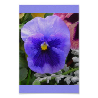 The Blue Pansy Poster