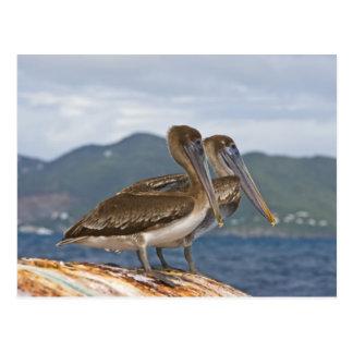 The Brown Pelican ( Pelecanus Occidentalis ) Postcard