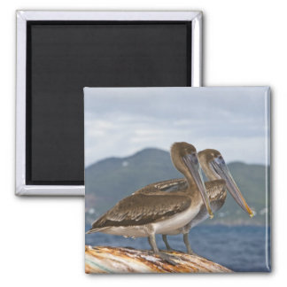 The Brown Pelican ( Pelecanus Occidentalis ) Square Magnet