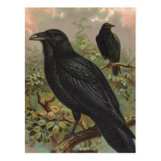 The Common Raven Vintage Bird Illustration Postcard