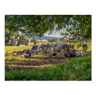The Cows of Lancanster PA Postcard