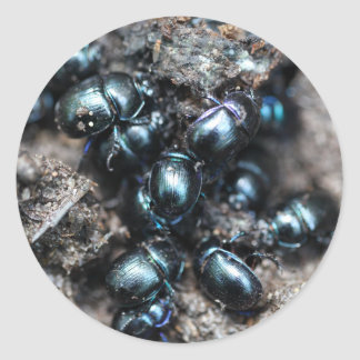 The dung beetles Anoplotrupes stercorosus Classic Round Sticker