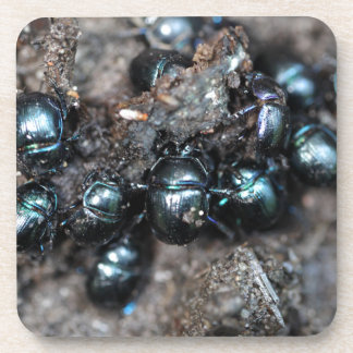 The dung beetles Anoplotrupes stercorosus Coaster