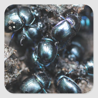 The dung beetles Anoplotrupes stercorosus Square Sticker