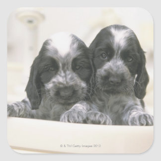 The English Cocker Spaniel is a breed of dog. It Square Sticker