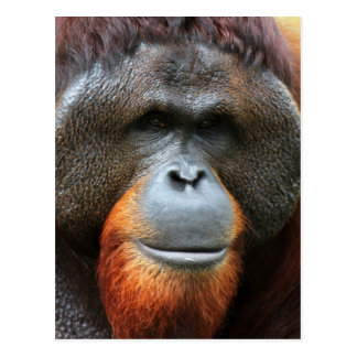The face of an orangutan postcard